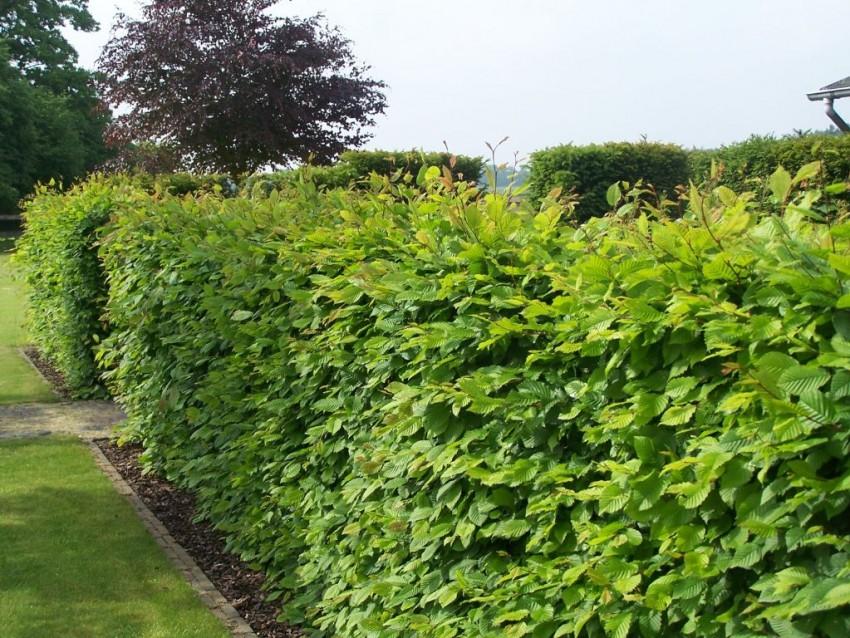 Arbres arbustes haies jardin d coration for Arbustes persistants pour haie