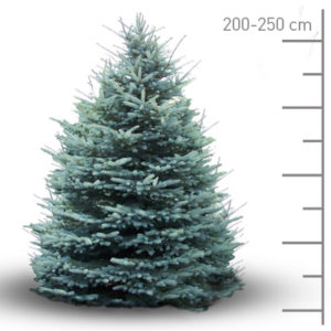 sapin-geneve-pungens-blue-c250